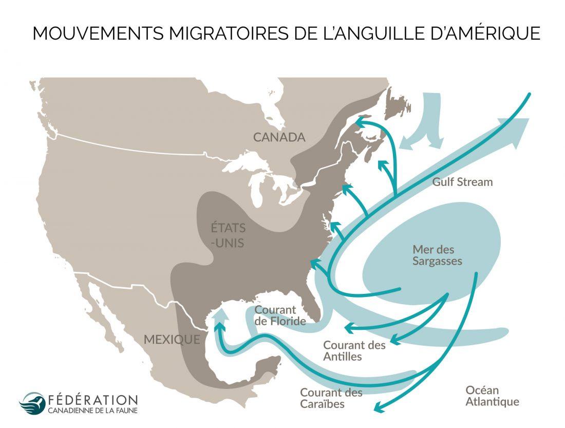 carte des anguille d'Amerique