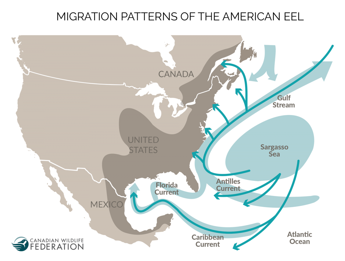 american eel migration map @ CWF