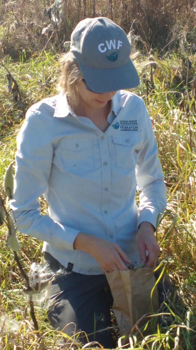 Carolyn Callaghan collecting Common Milkweed seeds.