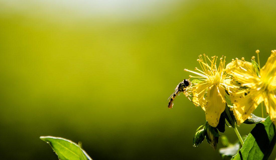 Syrphid Fly   Photo: Allan McDonald