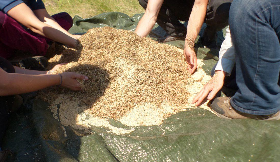 Mélange de semences indigènes et de millet, une culture de protection.