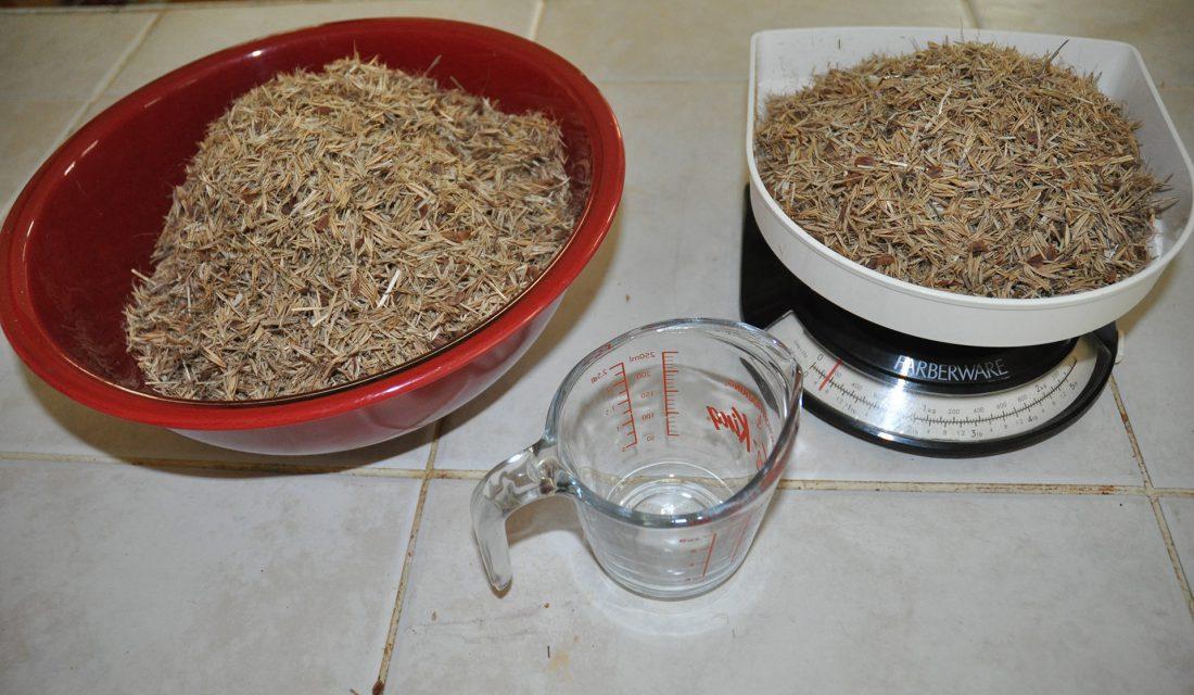 De grosses semences indigènes sont pesées, dont des semences de graminées et d'asclépiade.