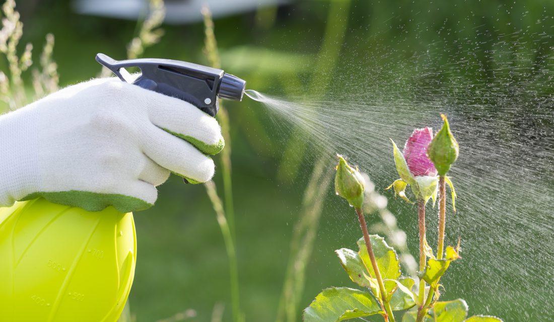 spraying roses