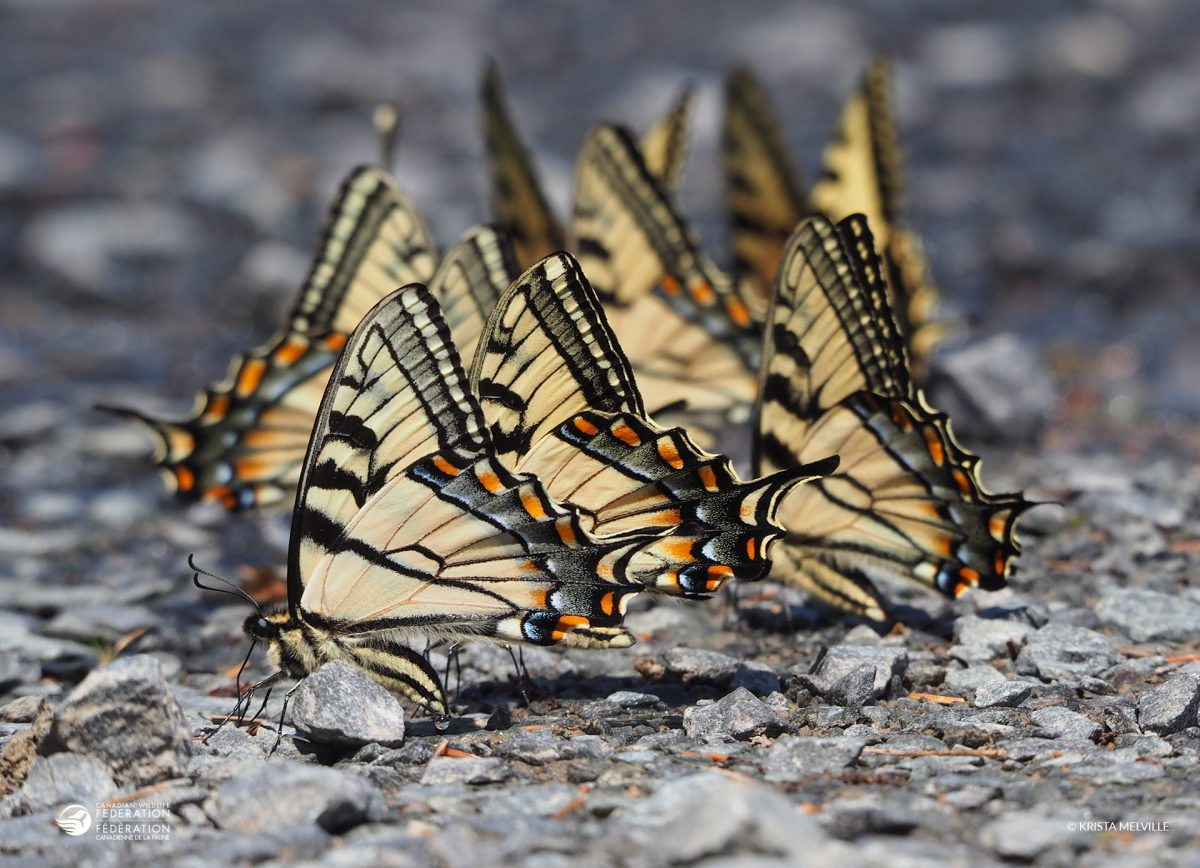 Offrez un abreuvoir aux papillons
