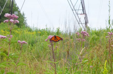 Monarch in a right of way