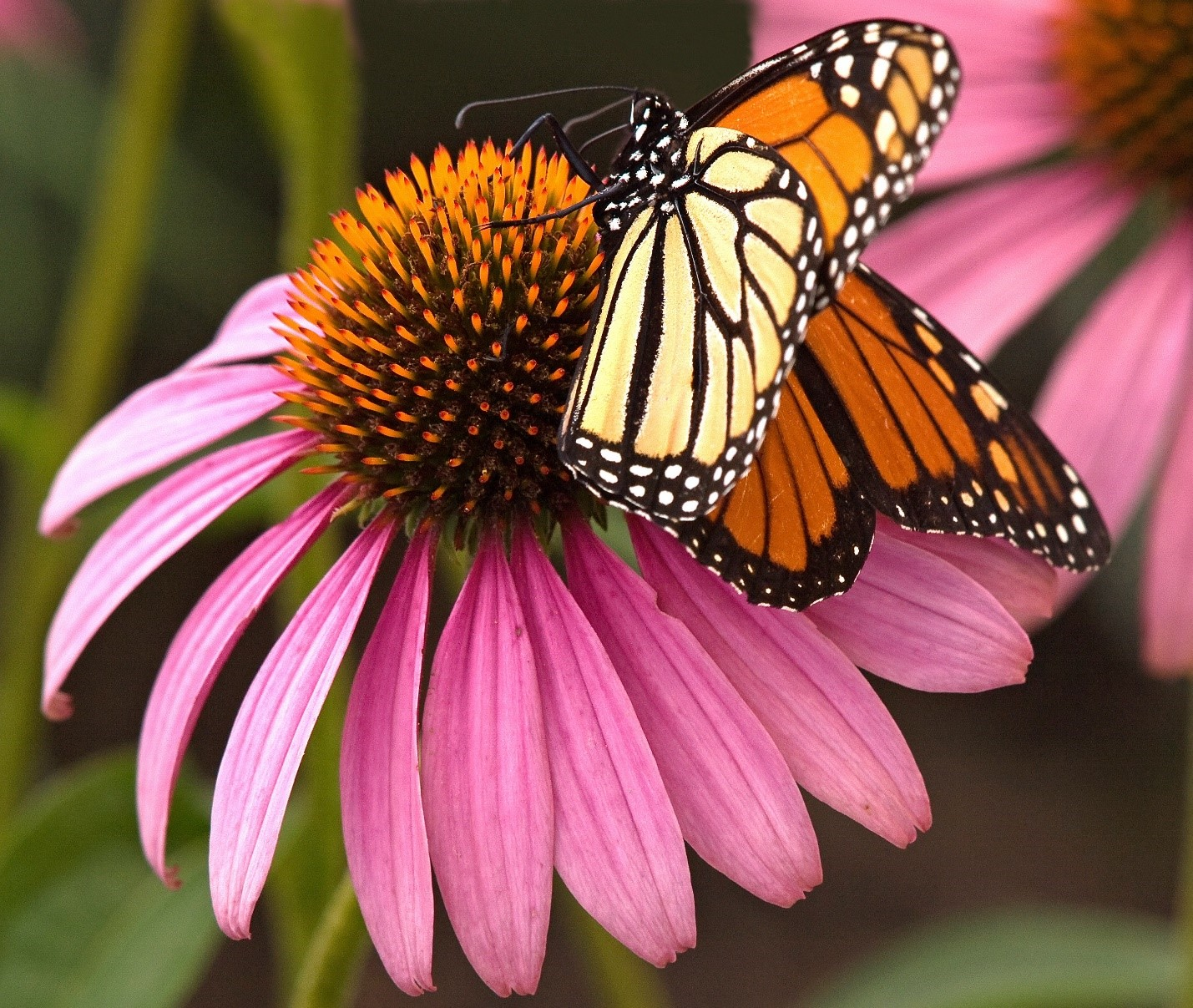 Photo: Shelley O'Connell, QC, Photo Club Member Include native plants in your butterfly garden like asters, milkweeds, Joe pye weeds and Echinacea.