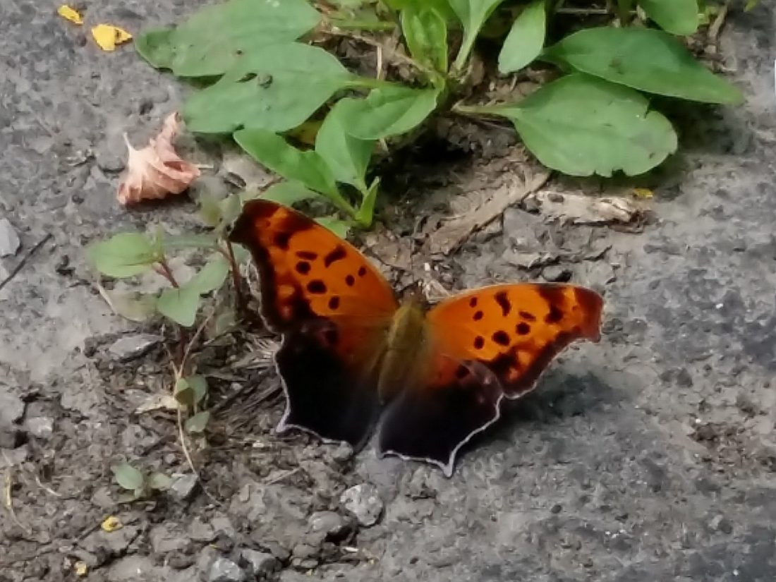This Question Mark Butterfly was feeding at a dirt-filled crack in the CWF parking lot