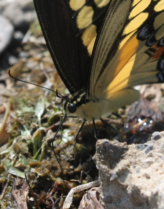 Photo: Sarah Coulber, CWF Caption: This swallowtail is feeding on washed up organic matter along a river