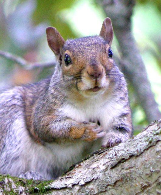 grey squirrel @Annie Duriez