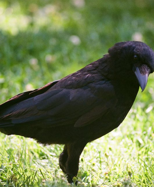 Crow @Lynn Larsen