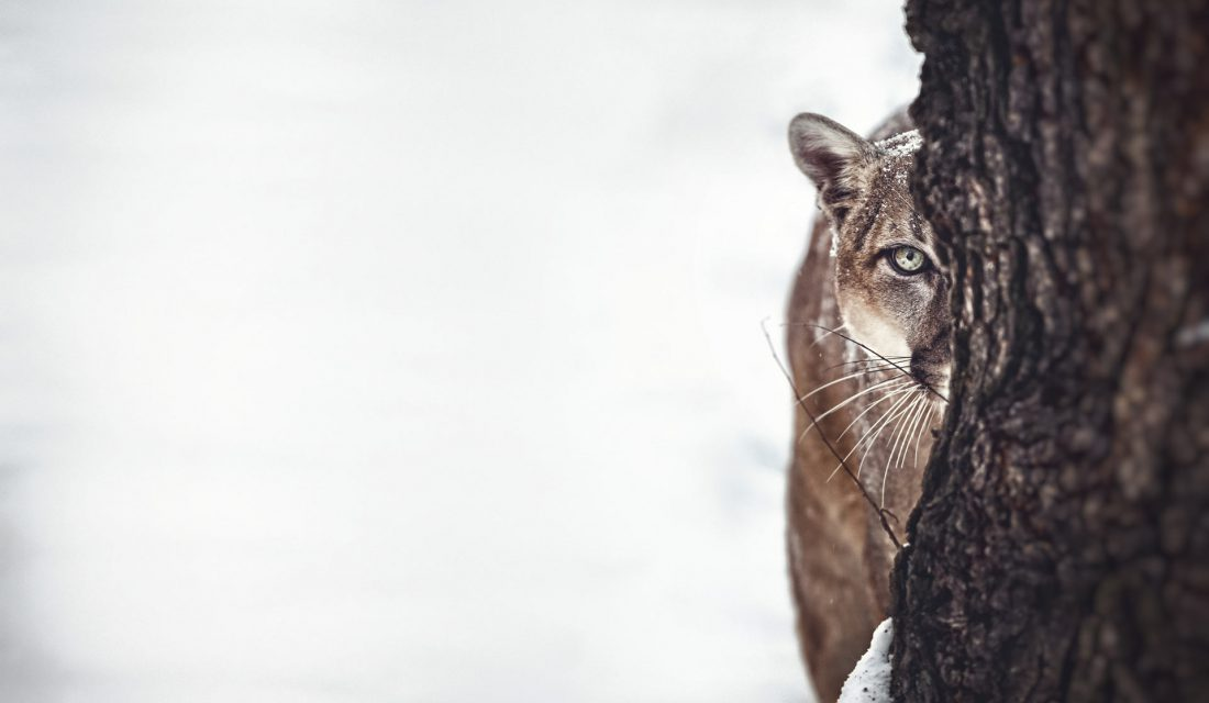 Cougar hunting in the snow
