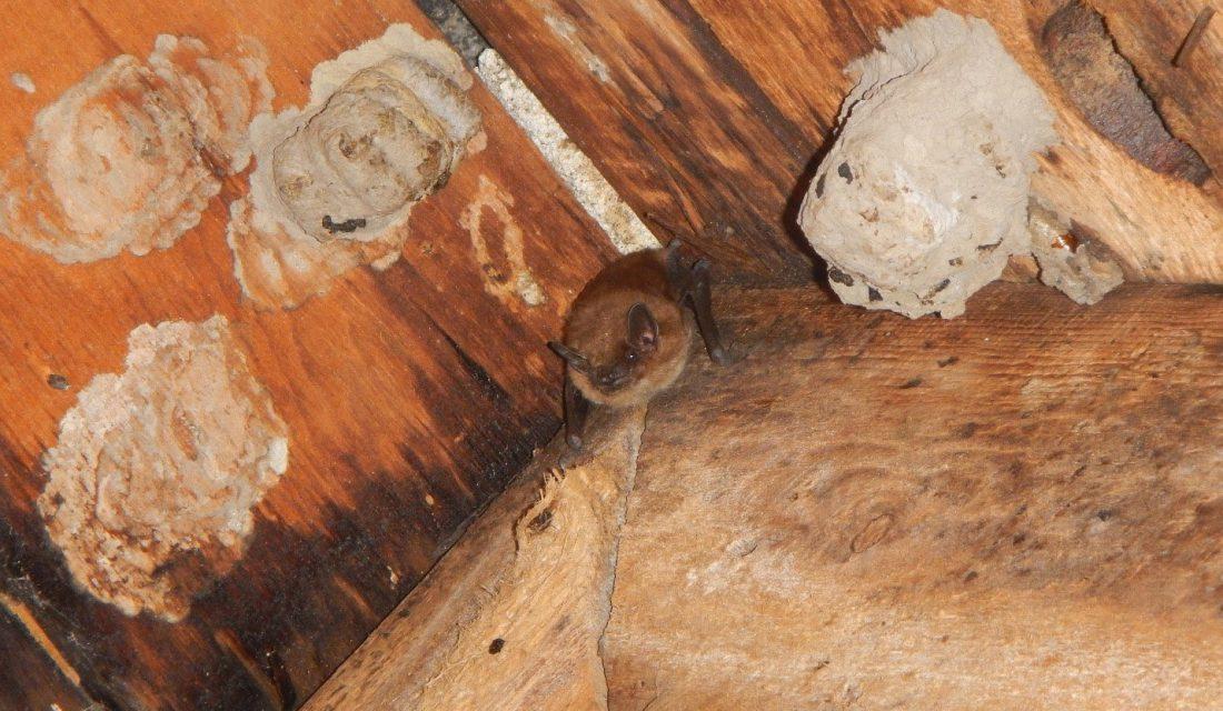 On retrouve également des pouponnières dans des greniers comme celle de cette grande chauve-souris brune dans un grenier en Ontario. @Karen Vanderwolf