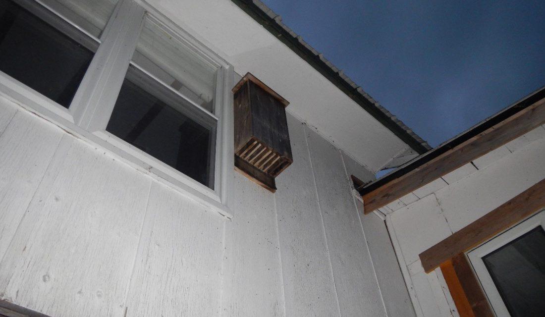 Une pouponnière de petites chauves-souris brunes habitait dans cet abri pour chauves-souris. @Karen Vanderwolf