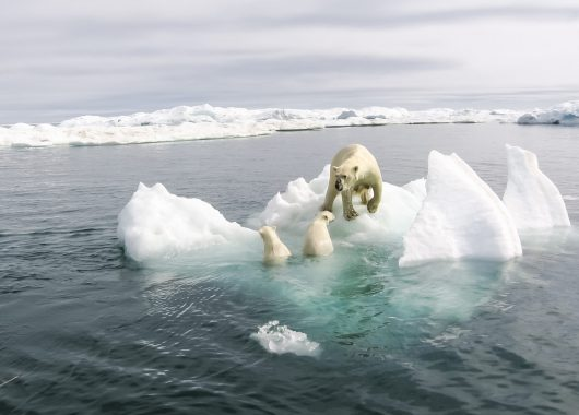 polar bear mom cubs