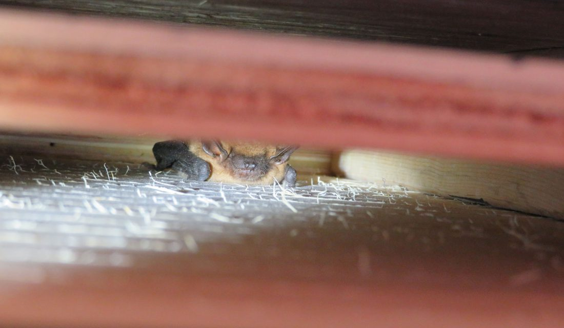 bat in wall