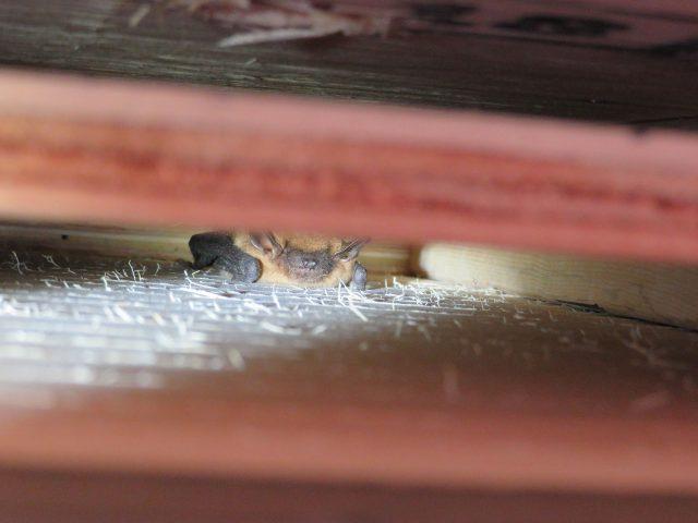 bat in wall