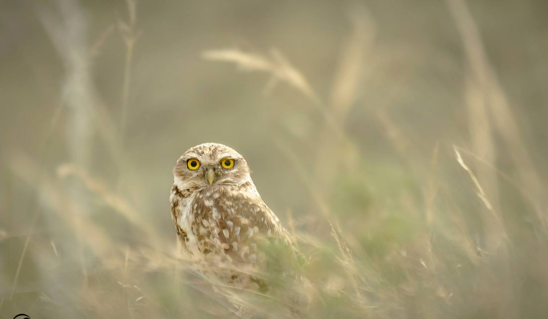 © Shane Kalyn, CWF Photo Club ID 31293 Image caption: Grasslands provide important habitat to more than 60 species at risk in Canada, like the burrowing owl.