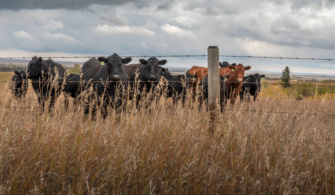 When livestock grazing is managed sustainably, they play a vital role in keeping grasslands healthy and in supporting the 200 types of plants and wildlife that live there.