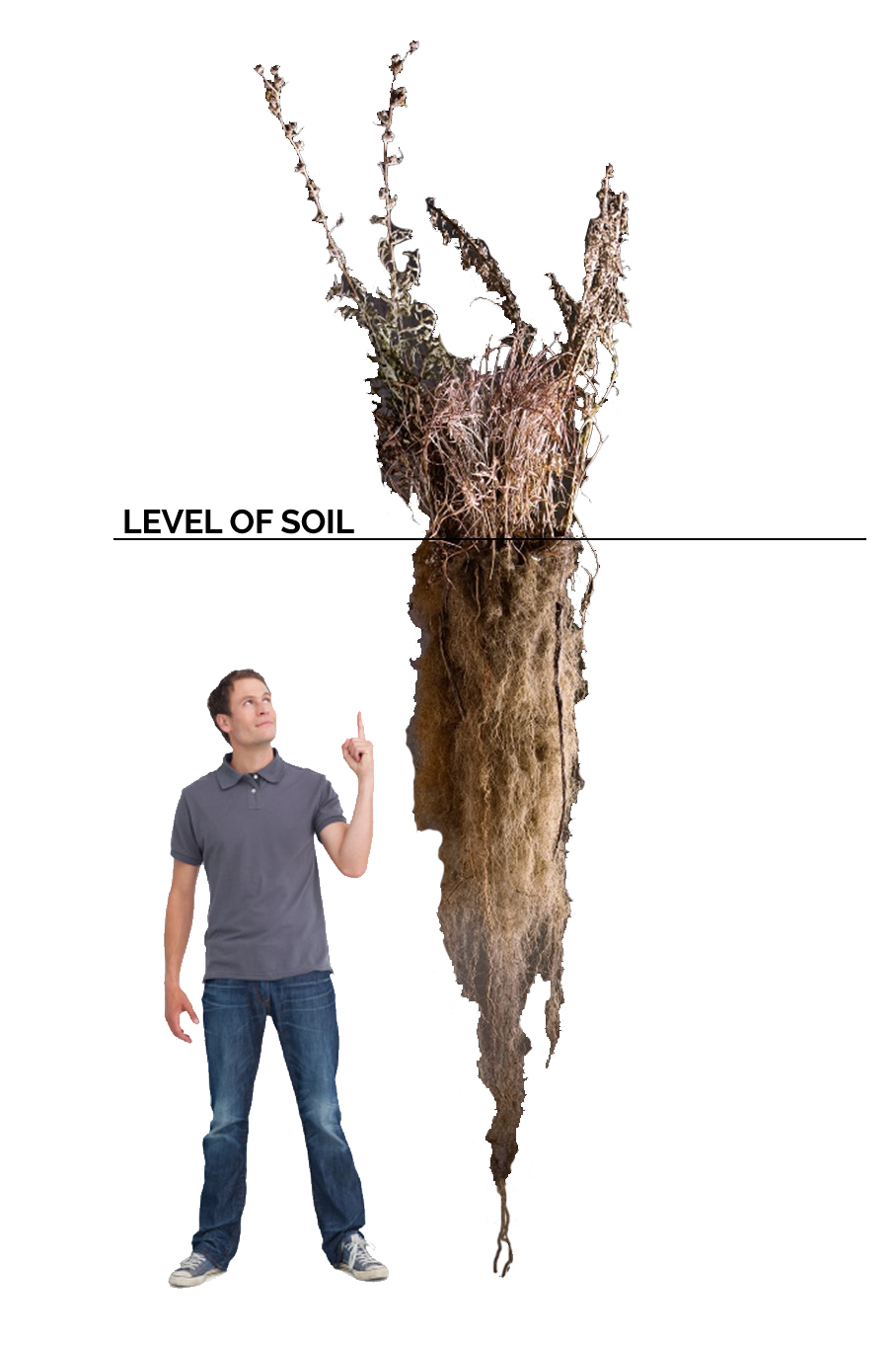 man compared to root depth