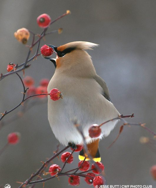 Native shrubs provide the perfect fruit for our birds