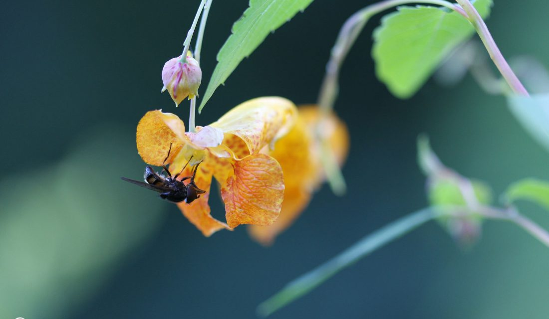 Pollinating fly on a Spotted Jewelweed flower. This plant can help prevent poison ivy rashes.