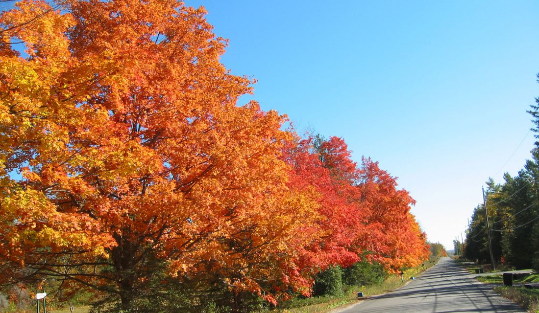 Our native maples, as shown here, can support far more biodiversity than the non-native and invasive Norway Maple