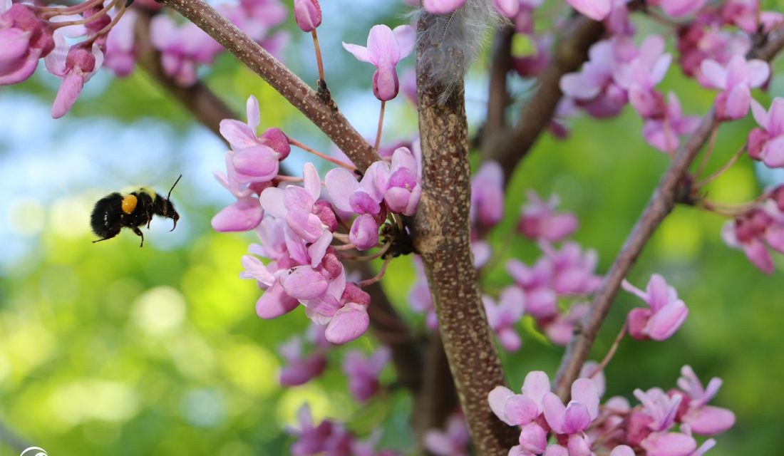 bumblebee spring pink flower sarah coulber