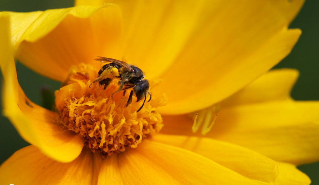 Solitary bee and spider on a native coreopsis flower