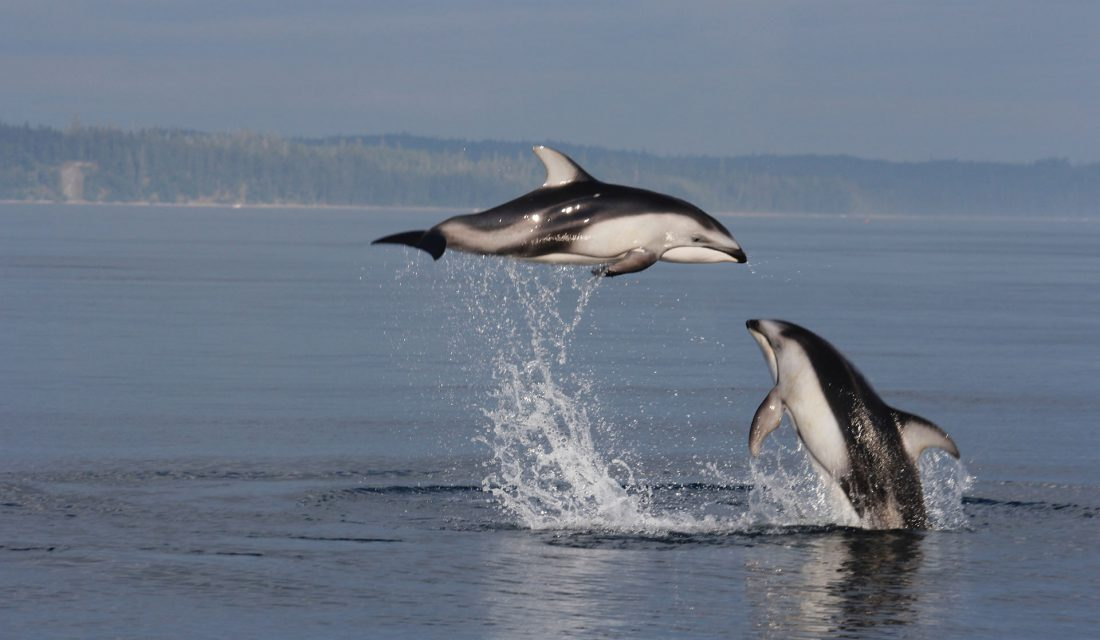 Dolphins are another marine mammal who are changing their tune.