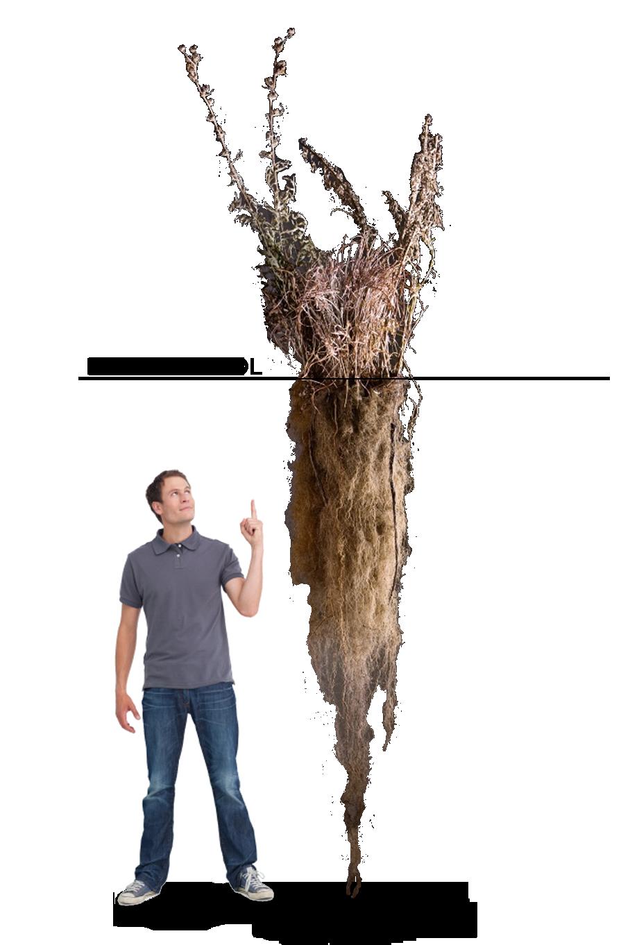 Les graminées ont de longues racines dont jusqu'à 70% poussent sous la terre. Ainsi, ces racines absorbent le gaz carbonique dans l'air pour l'emmagasiner dans le sol.