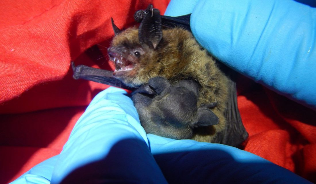 nursing bat