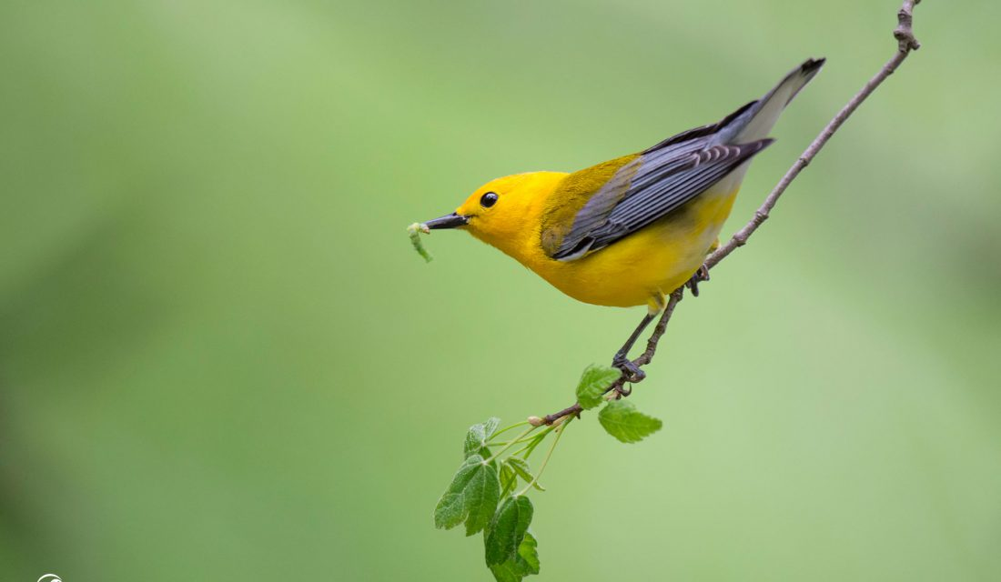 Prothonotary Warbler with caterpillar