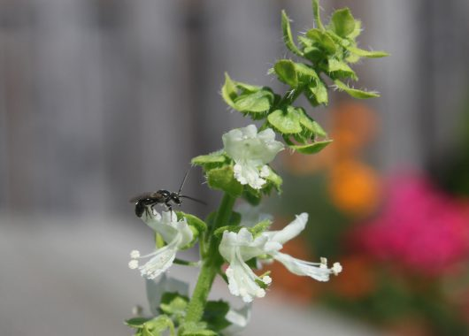 Solitary bee on a basil flower