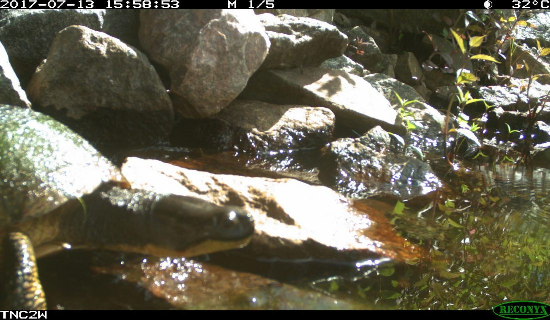 Trail camera photo of a Blanding's Turtle exiting from a culvert under a road. Photo credit: Eco-Kare International and the Ontario Ministry of Transportation