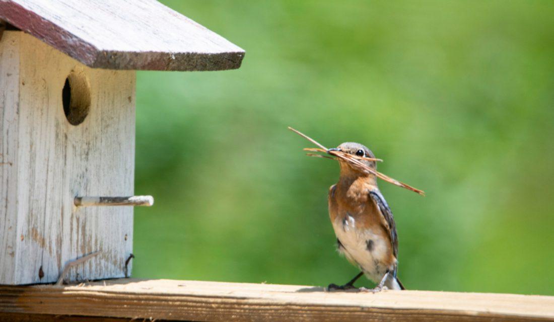 female bluebird bird house