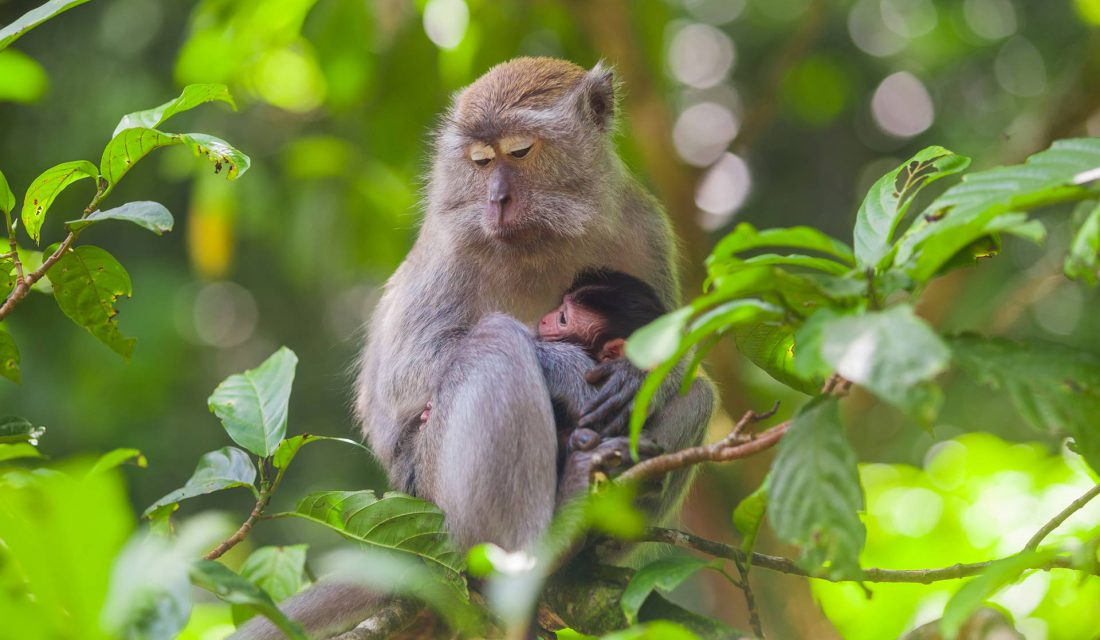 Crab-eating Macaques have become so dependent on people feeding them that now when tourism has been halted, they are no longer self-sufficient.