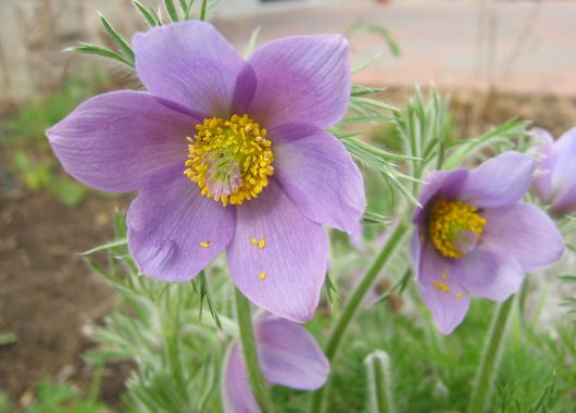pasque flower by sarah coulber