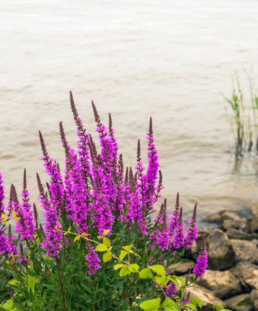purple loosestrife invasive species