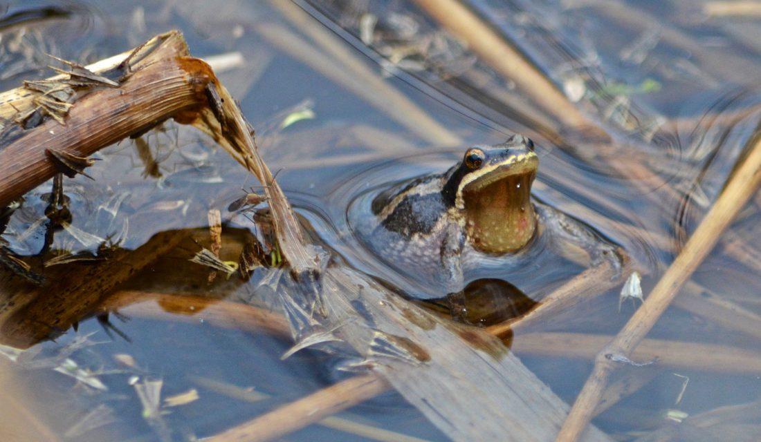 Western Chorus Frog © Annie Langlois