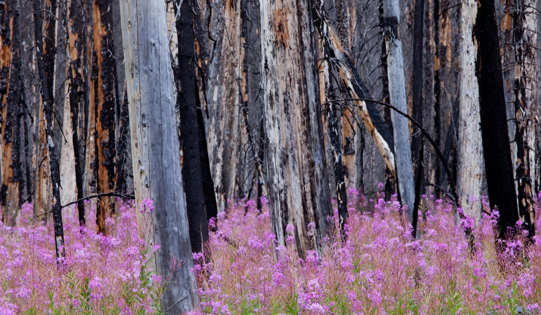 fireweek blooming in burnt forest