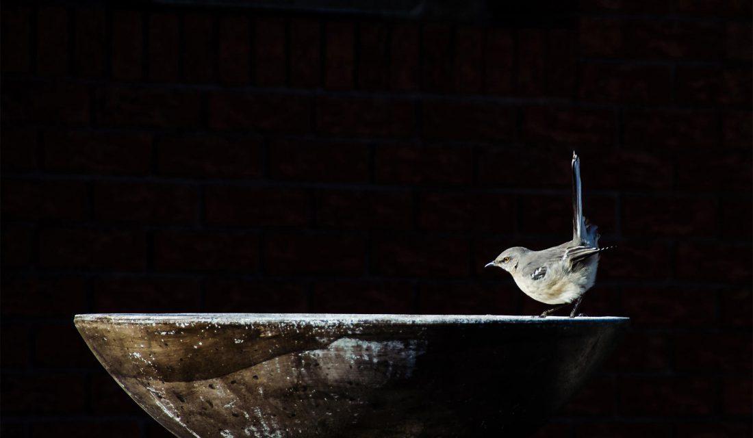 Miguel de la Bastide Northern mockingbird