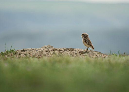 burrowing owl sk