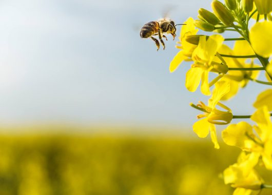 pollinator canola