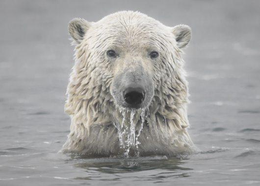 polar bear head arctic ocean