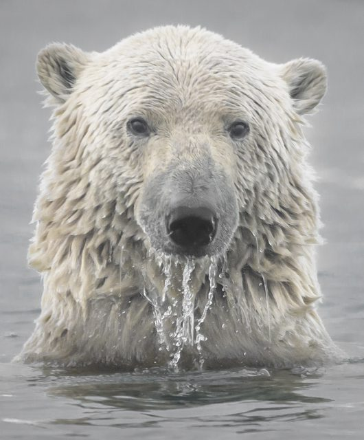 polar bear head arctic ocean