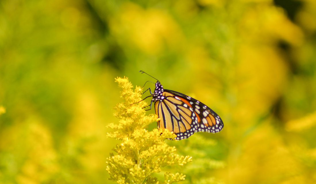 monarch on golden rod caitlin brant