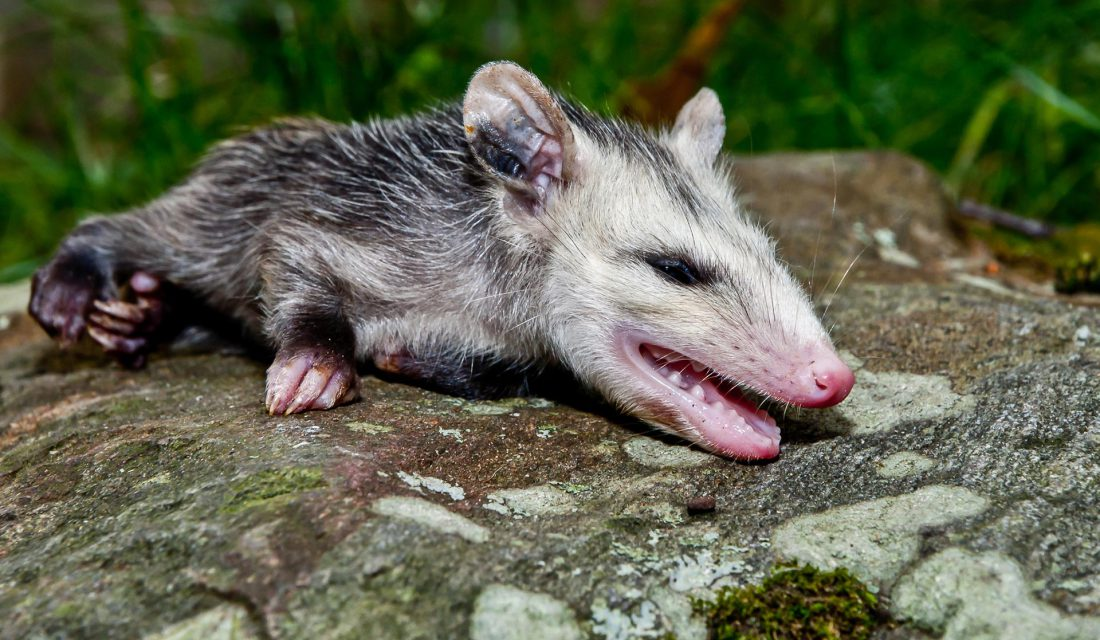 oppossum playing dead
