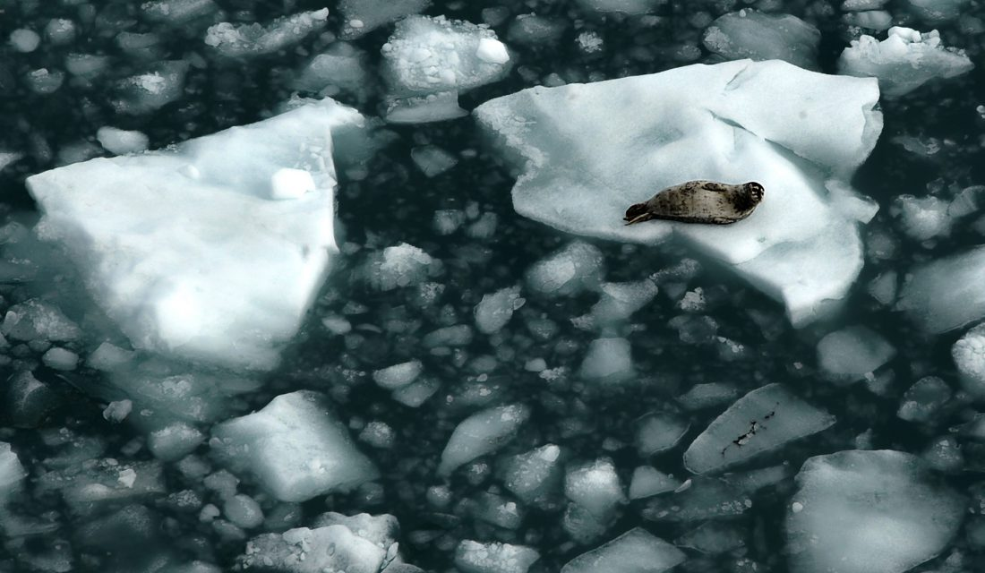 harbour seal sea ice