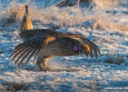 sharptail quail