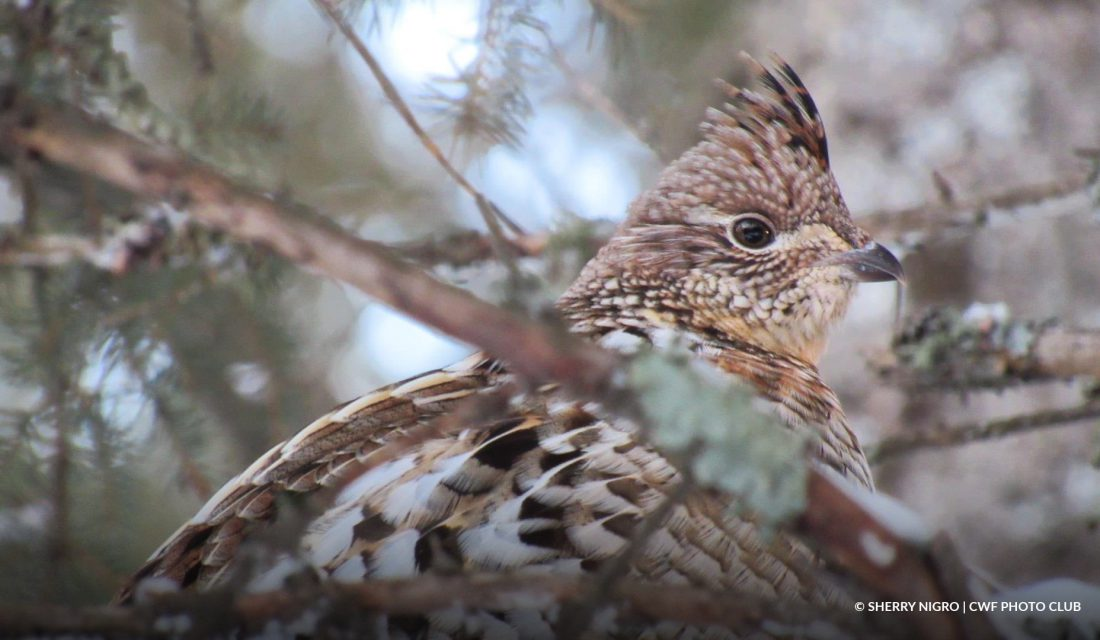 Ruffed Grouse © Sherry Nigro | CWF Photo Club